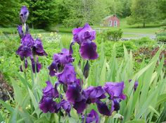 Gorgeous front garden of the Inn at Silver Maple Farm with the red barn captured in the background.  Rich purple irises!  This is why I love the Berkshires.
