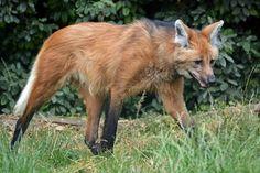 Maned Wolf   Manenwolf (Chrysocyon brachyurus)