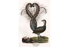 Hand-Colored Superb Lyrebird, C. 1830