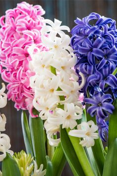 Fall Plants, Garden Plants, Spring Colors, Spring Flowers, Hyacinth Plant, Hyacinth Flowers, Flower Drawing Images, Planting Tulips, Perennial Bulbs