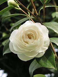 Kamelie 'Alba Plena' Blüte weiß