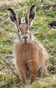 harePBrown hare, Chapel fell, Weardale | Flickr - Photo Sharing!