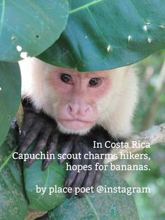 """Capuchin monkey in Manuel, Costa Rica from """"Pura Vida Magic"""" by Nature Animals, Animals And Pets, Funny Animals, Cute Animals, Beautiful Creatures, Animals Beautiful, Costa Rica Sloth, New World Monkey, Monkey Wallpaper"""