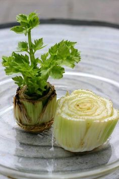 Grow celery from cutting