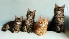 Maine Coon Kittens | Cattery Tormenta | The Netherlands | www.kittentekoop.nl