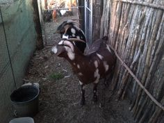My 2 New Stud ewes that I bought From Anthe Thys Cronje. Goats, Horses, Stuff To Buy, Animals, Animales, Animaux, Horse, Animal Memes, Animal