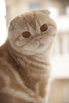 Cute orange Scottish Fold cat - Beautiful and different ideas I Love Cats, Crazy Cats, Cool Cats, Most Beautiful Cat Breeds, Beautiful Cats, Kittens Cutest, Cats And Kittens, Pedigree Cats, Cat Scottish Fold