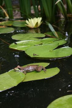 Frog in pond with water lily