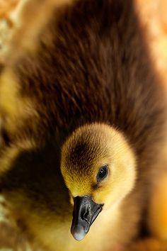 Baby Duckling by Todd Klassy, via Flickr