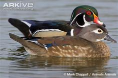 Wood duck - Unlike most ducks, the wood duck nests in holes in trees.  Young wood ducks must jump to the ground from the nest high in a tree, and have been known to leap from great heights without injury.