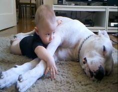 Baby Lucca and Pajé, a Dogo Argentino, share a cuddle. Related: Sweet Boxer loves to cuddle with baby Caring Golden Retriever comforts baby with chicken pox Gentle Great Dane cuddles with baby  Learn more about introducing dogs to children.