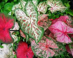 mix Caladium Facncy collection large PREMIUM bulbs easy to grow - 3 RED mix Caladium Facncy collection large PREMIUM bulbs easy Patio Planters, Elephant Ears, Colorful Plants, Pink Clouds, Foliage Plants, Shade Plants, Types Of Plants, Begonia, Plant Care