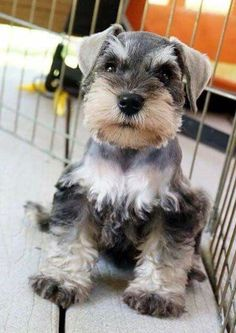Adorable schnauzer puppy