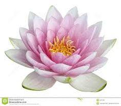 flor de lotus - Pesquisa Google