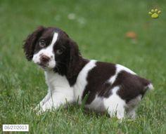 Sasha - English Springer Spaniel Puppy for Sale in Montgomery, PA - English Springer Spaniel - Puppy for Sale
