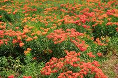 Butterfly Milkweed. Asclepias tuberosa. Spring/summer. Height 18 to 24 inches. Spread 24 to inches.