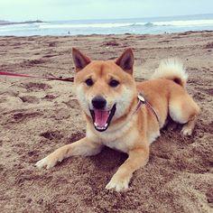 He was so excited lol had fun there :) #shiba#shibainu#dog#柴犬#taiwan#beach
