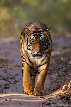 we will see this magic animal gone because of humans we should be gone not the tiger
