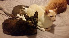 Tibbles Cat | Pawshake