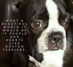 ♡ What a beautiful world it would be if people had hearts like boston terriers! ♡