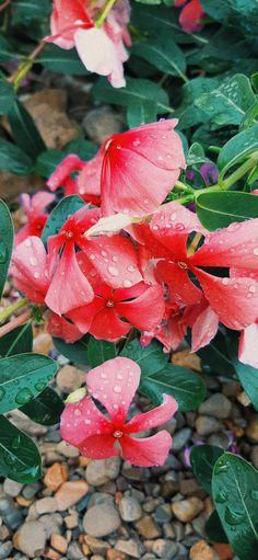 Periwinkle Flowers, Orange, Plants, Pink, Plant, Pink Hair, Roses, Planets