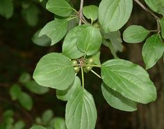Common Buckthorn leaves and unripe fruit - invasive