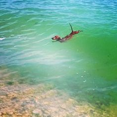 Refusing to be left aboard while you explore the shore---Swimming dachshund…