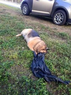 Justice for German shepherd duct taped, placed in plastic ba... - Care2 News Network
