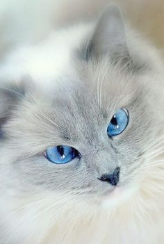 its like it's thinking \Yes yes look deep into my eyes human...while it plans it's strike. #paralizingeyes #prettykitty