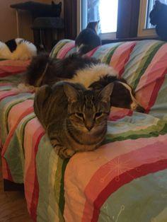 White Border Collie, Cats, Animals, Gatos, Animales, Animaux, Animal, Cat, Animais