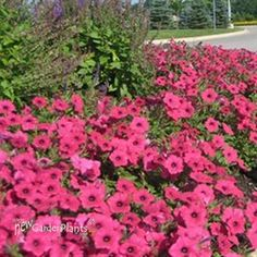 Vista Fuchsia Supertunia®  Height: 16-24 inches	Spread: TRAILS UPTO 60 inches