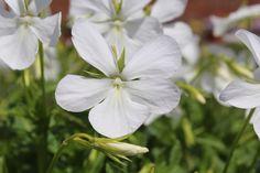 Viola cornuta 'Alba' Bouts Violas