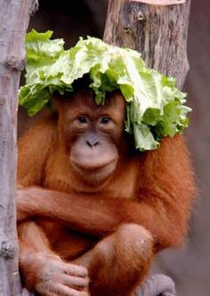 60% of an orang-utan's diet is fruit. A favourite is durian, a huge spiky fruit well known for its stench, which has been likened to sewage, rotting flesh and smelly socks. Tasty...