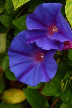 IMG_4154 Ipomea purpurea ( Don Diego de dia)