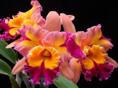 Arabesque X Blc Hawaiian Lightning | Blc. Paradise Jewel Flare'