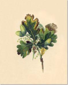 Book Plates - Trees - Hand Colored Engravings Book Plates of Trees from Spirit of the Woods Hand Colored Engravings 1837 - 001 - OAK Paintin...