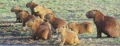 A Capybara Family Capybaras love the water and so make their homes near the lakes, streams and rivers of the rainforest. These animals are herbivores, which means they love to eat plants, leaves and grasses though they can be very picky eaters.