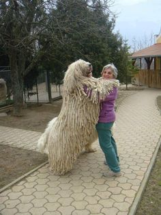 Komondor dog - The Komondor is a large, white-colored Hungarian breed of livestock guardian dog with a long, corded coat.