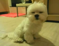 Sleepy puppy fights to stay awake but falls asleep while sitting (VIDEO) » DogHeirs | Where Dogs Are Family « Keywords: sleep, Cute, sleepy, nap