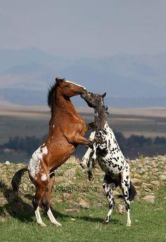 Appaloosa Horses - by Marta Nowakowska Photography