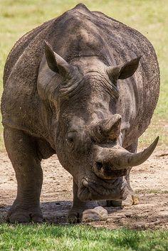 White Rhino . Kenya