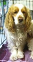 Harriette is an adoptable Cocker Spaniel Dog in Libertyville, IL. Visit AEAR.org to learn more about Harriette Harriette is a friendly and pretty purebred cocker spaniel. She was given up by her owner...