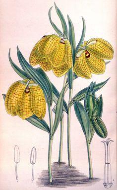 Fritillaria aurea - circa 1894