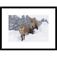 Global Gallery Fox Pair in Snow Fall Showing the Markings of Their Cross Phase, Montana by Tim Fitzharris Framed Photographic Print Size: