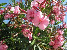 orleander