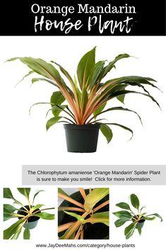 Orange Plant, Orange Leaf, Green And Orange, Shades Of Green, Urban Gardening, Indoor Gardening, Plants Indoor, Garden Plants, Spider Plant Propagation