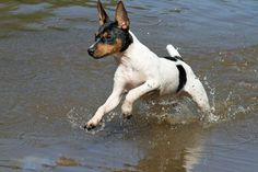 Rat Terriers LOVE to swim