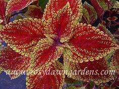 """One of the most frequent questions I get from our customers is """"Will [fill in the blank] coleus grow in full sun? It is a loaded question . Potted Plants Patio, Greenhouse Plants, Rainbow Garden, Plant Catalogs, Garden Yard Ideas, Dream Garden, Container Gardening, Bunt, Shrubs"""