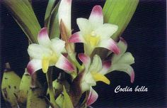 Orchid: Coelia bella - This medium to large-sized, terrestrial and occasional epiphytic species, with clustered, ellipsoid to ovoid, olive-green pseudobulbs, is found in Mexico, Honduras and Guatemala in rain-forests at elevations of 500 to 1500 meters.
