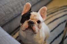 http://blogpaws.com/executive-blog/pet-parenting-health-lifestyle/dogs-2/manny-frenchie-opens-blogpaws/ #Mannythefrenchie